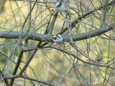 long tailed tit aegithalos caudatus sparrow bird