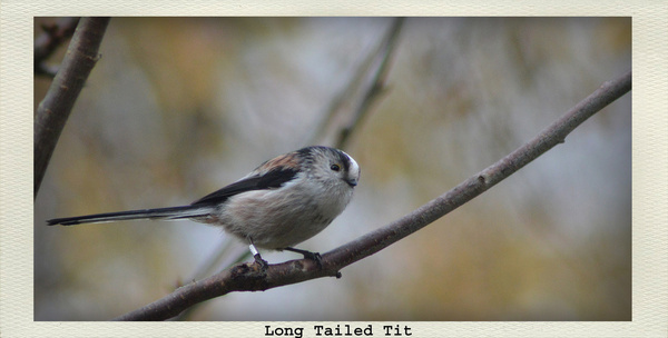 long tailed tit in tree