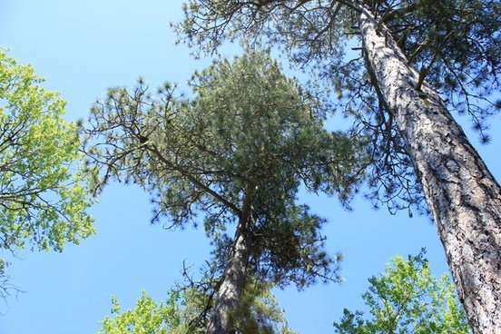 looking up at the trees at sleeping giant provincial park ontario canada