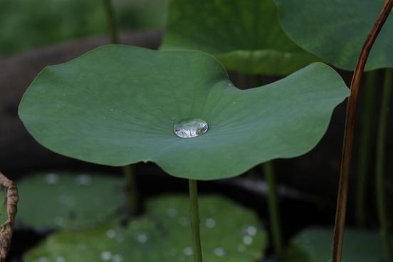 lotus blu thailand