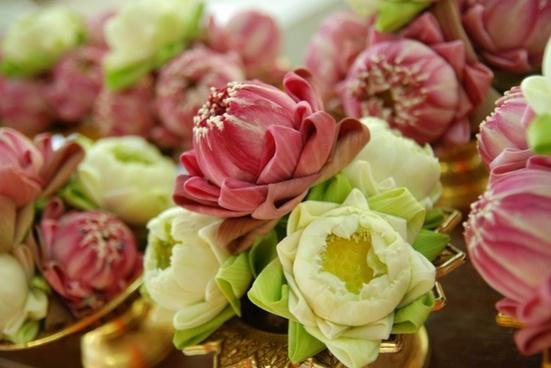 lotus enshrine blooming