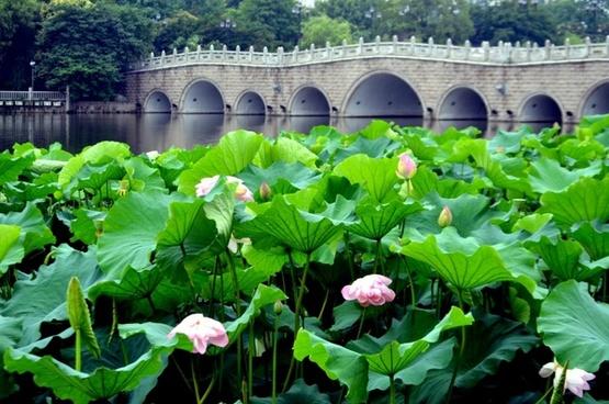 lotus flower field