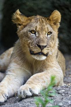 lounging lion cub