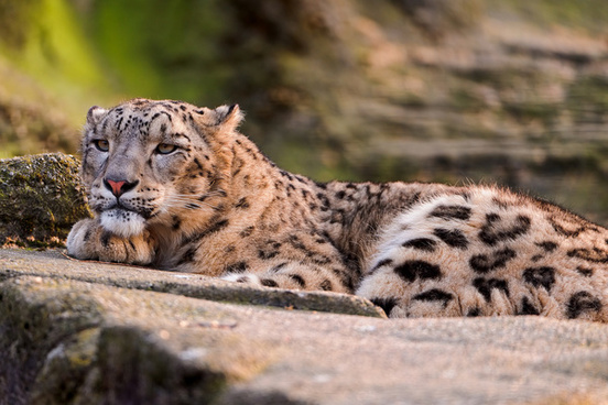 lounging snow leopard