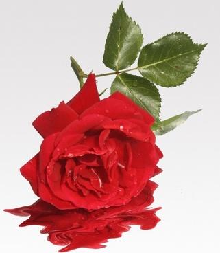 love flower rose