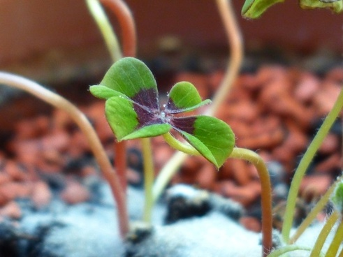 lucky clover klee plant