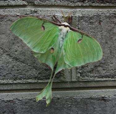 luna moth green