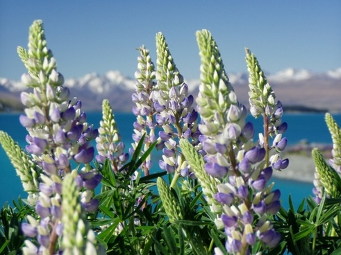 lupinien nature new zealand