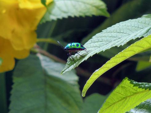 lychee shield bug chrysocoris stoll