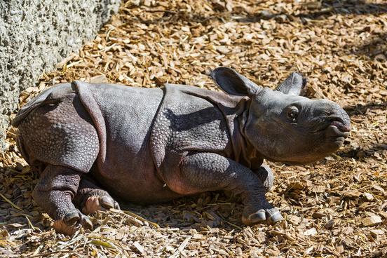 lying baby rhino