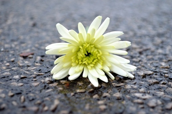 lying flower on the road