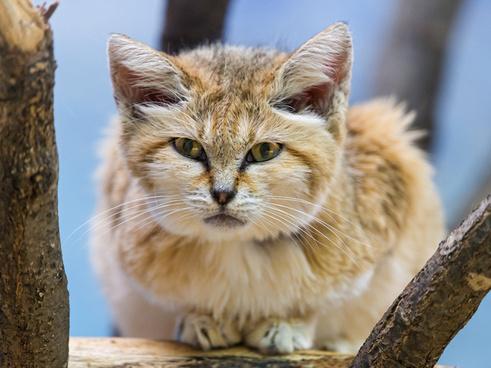 lying sand cat
