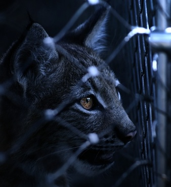 lynx caught imprisoned