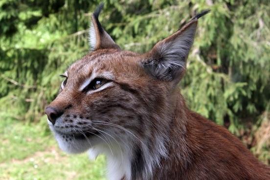 lynx eurasischer lynx northern lynx