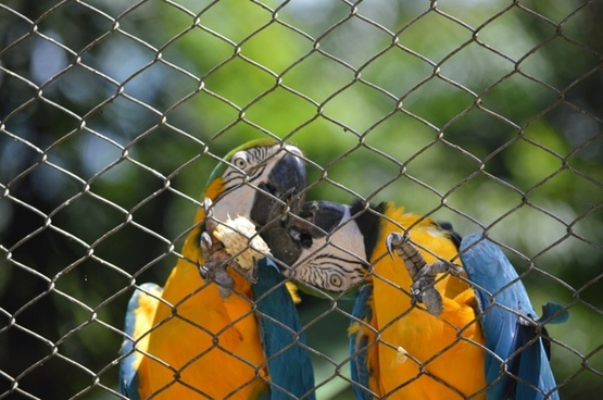 macaws kissing bird tropical birds