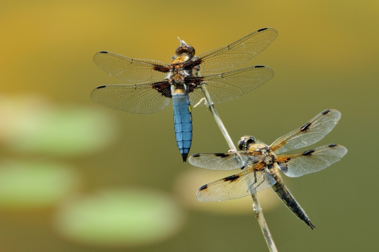 closeup of couples of dragonflies