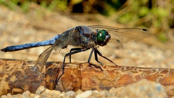 macro dragonfly summer