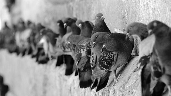macro nature pigeon