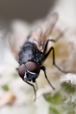 macro of a fly