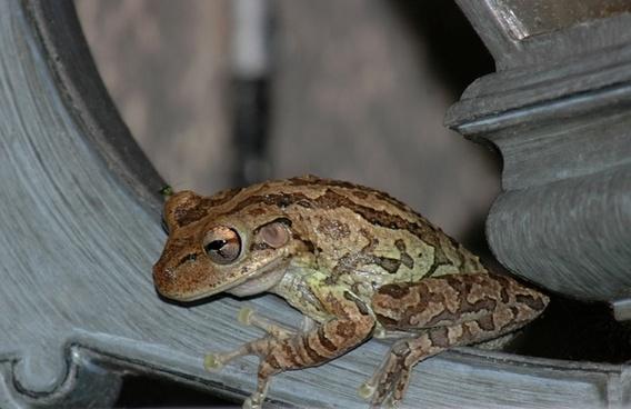 macro tree frog