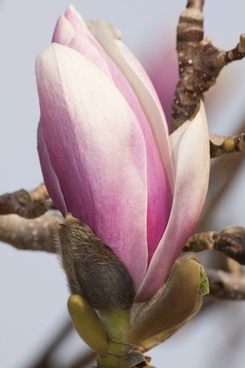 magnolia flower bush