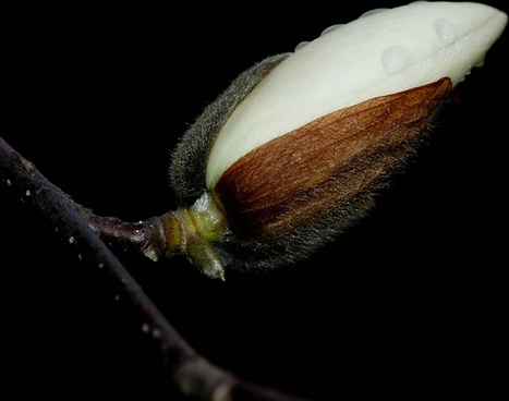 magnolia flower night