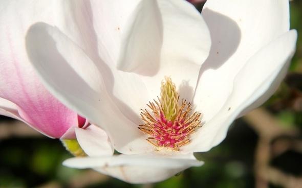 magnolia tulip magnolia flower