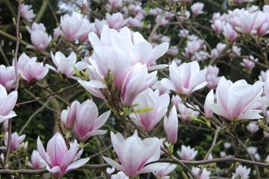 magnolia tulip magnolia flowers