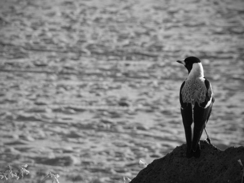 magpie by the