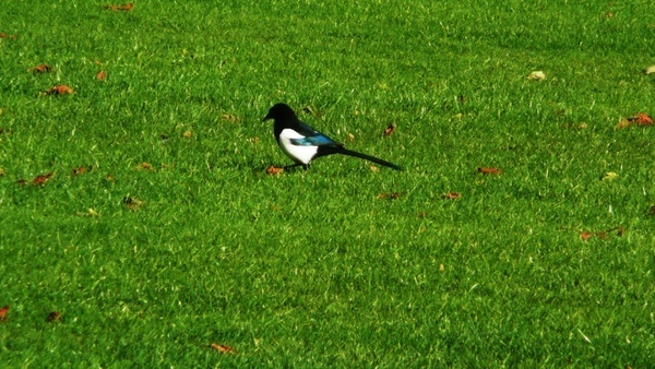 magpie on grass