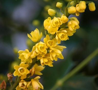 mahonia flowers yellow blossoms oregon grape holly