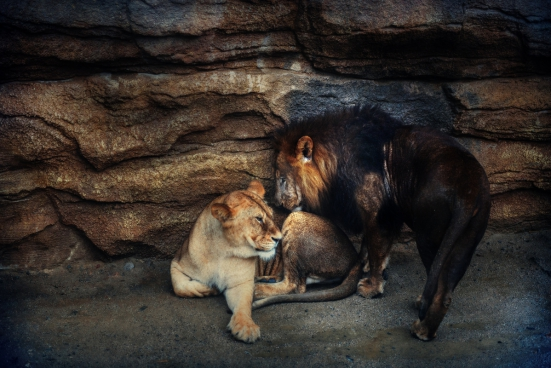 male and female lions at the zoo