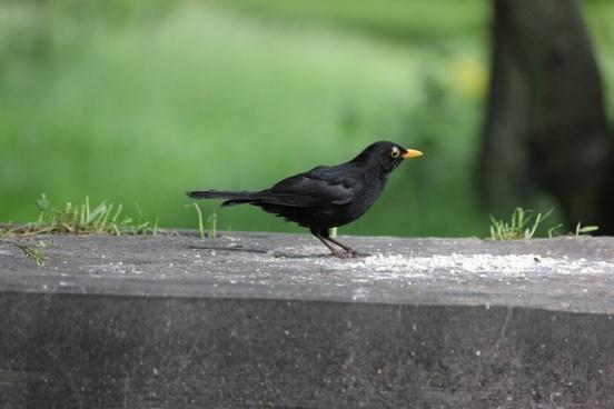 male blackbird feeding