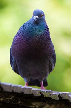 male pigeon