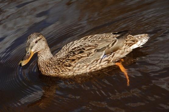 mallard bird water