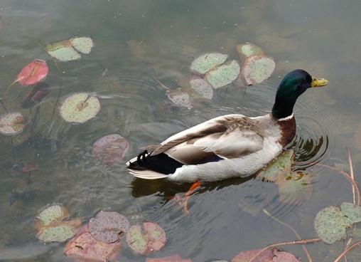 mallard duck ii