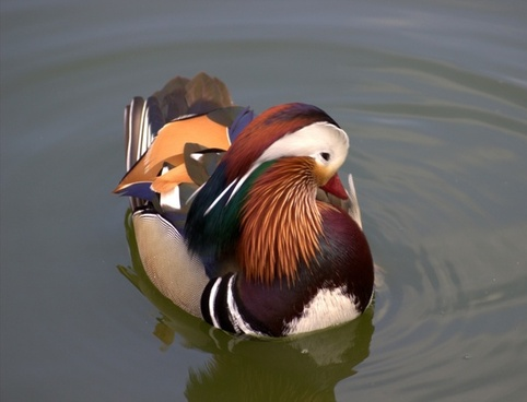 mandarin ducks duck aix galericulata