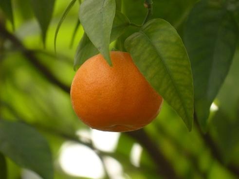 mandarin fruit tree