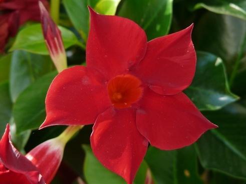 mandevilla bell-shaped funnel flower