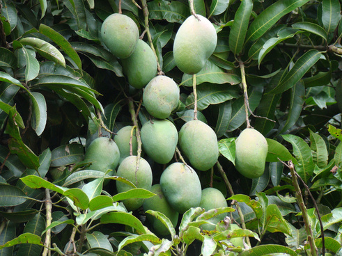 mango fruits quotmangifera indicaquot