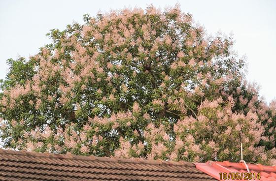 mango tree in full bloom