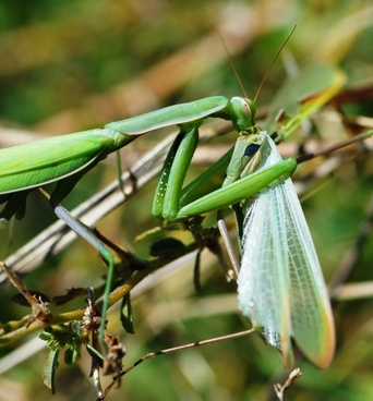 mantis green insect