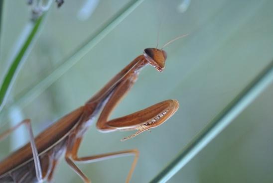 mantis religion mantis religiosa