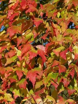 maple acer platanoides needle-leaf maple