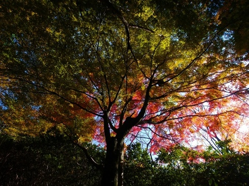maple big tree red