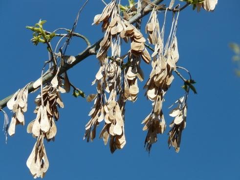 maple fruit dry maple