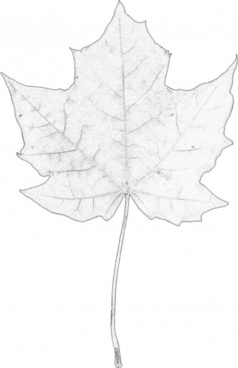 maple leaf digital sketch