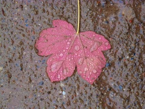 maple leaf maple leaves