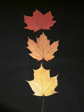 maple leaves fall leaves pressed