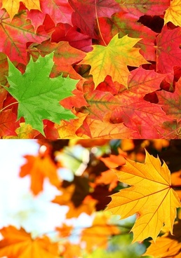 maple leaves in autumn ye gaoqing picture 2p